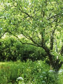 Omenanpoimija